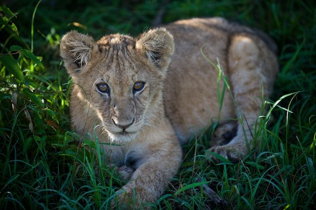 Young lion cub - Maasai Mara, Kenya